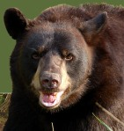 scary bear